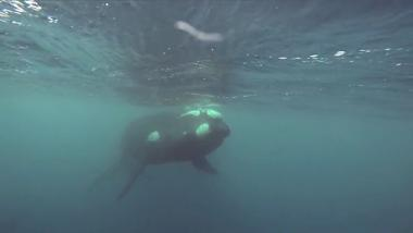 Southern right whales filmed near Campbell Island