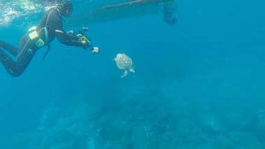 Koha a rare Hawksbill sea turtle is released back into the ocean