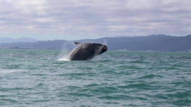 Southern right whale observed in Wellington Harbour
