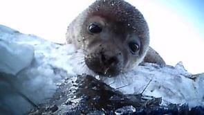 Weddell seals - web