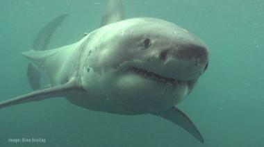 Big Fish, Calm Sea - White Shark Tagging off Stewart Island