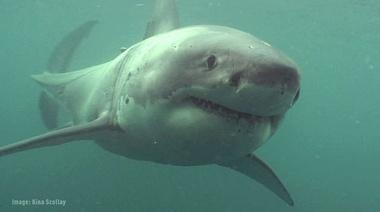 Big Fish, Calm Sea - White Shark Tagging off Stewart Island