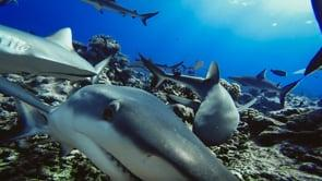 Dr Jade Maggs talks about reef sharks