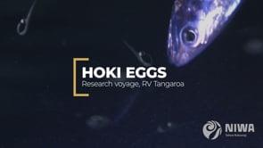Hoki eggs reveal their secrets