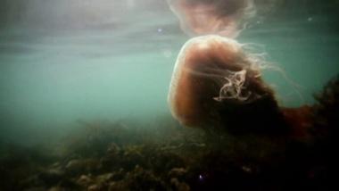 Desmonema gaudichaudi jellyfish